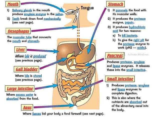 unit 7 digestion