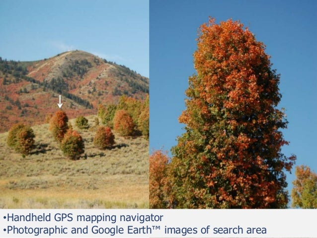 Bigtooth Maple: Developing new cultivars for outstanding fall color i…