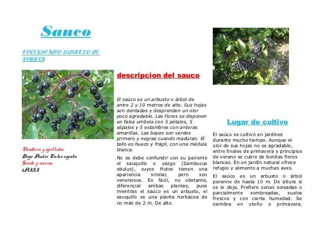 SaucoCOLEGIO SAN MARTIN DEPORRES                           descripcion del sauco                           El saúco es un ...