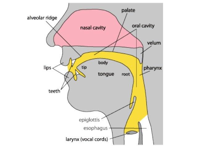 Intro to linguistics6 phonetics organ of speech segment articula uvula uvular 17 ccuart Gallery