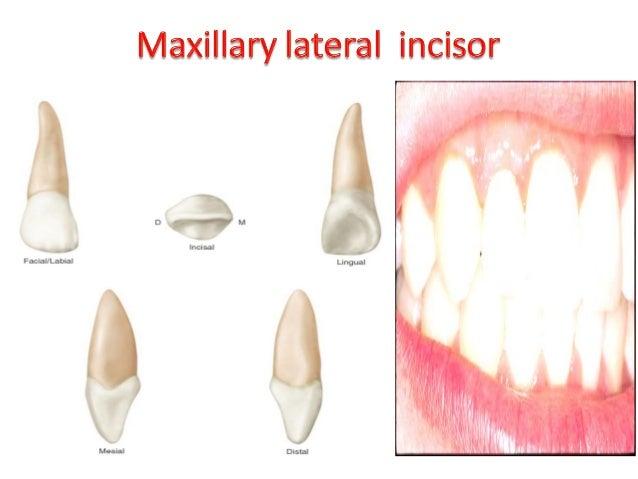maxillary mandibular incisor relationship tips