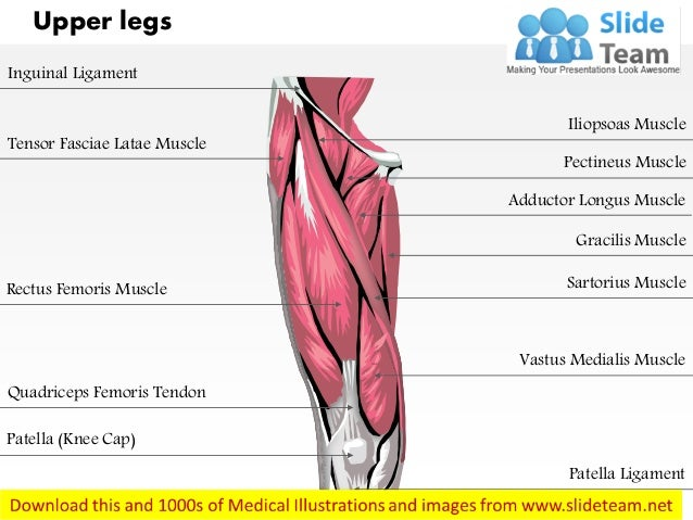 Upper legs anterior view medical images for power point