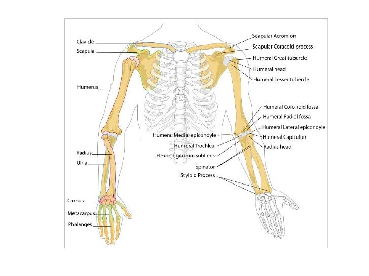 Bones Of The Upper Limb Diagram - Online Schematic Diagram •