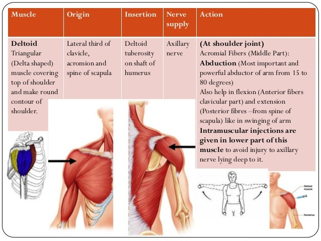 Upper Limb Bones Joints Muscles Drbbgosai