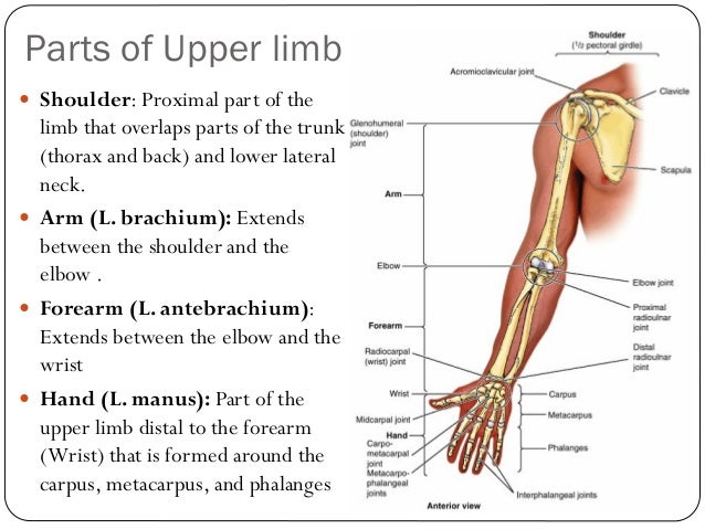 muscles of the upper and lower limbs Start studying muscles of the trunk and upper limb learn vocabulary, terms, and more with flashcards, games, and other study tools.