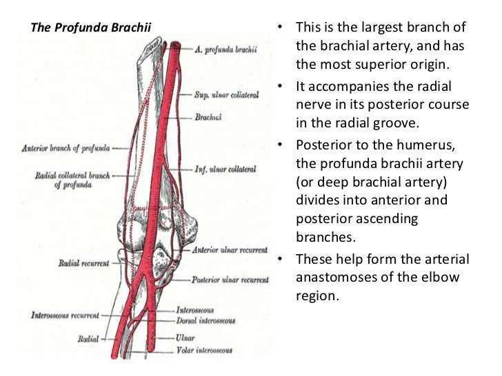 upper limbs arteries and veins, Human body