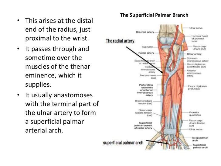 Upper Limbs Arteries And Veins