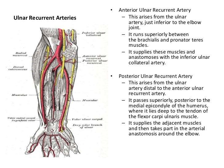 Short Essay Questions Upper Limb Anatomy - Professional User Manual ...