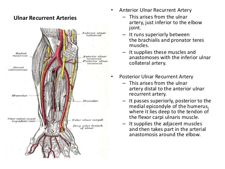 Upper limbs arteries and veins
