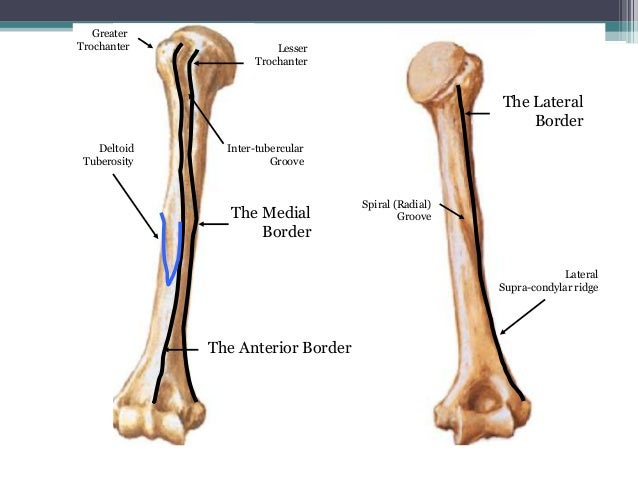 Upper limb skeleton 5th october 2013