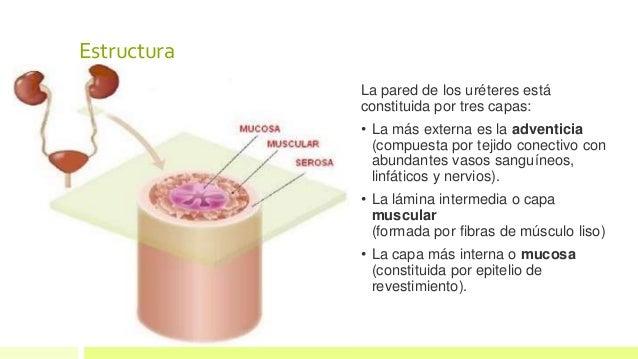 Uréteres