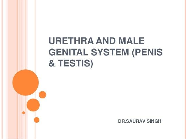 URETHRA AND MALE GENITAL SYSTEM (PENIS & TESTIS)  DR.SAURAV SINGH