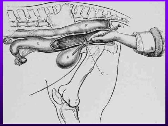 Urethral catheterization – male dog