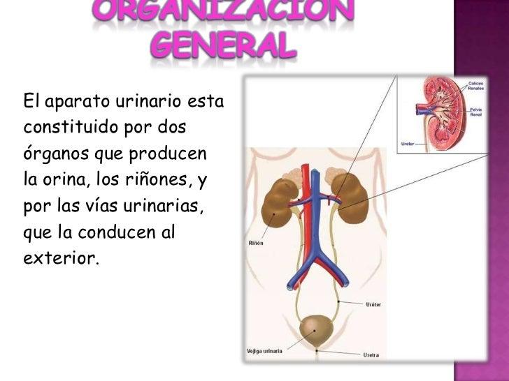 ORGANIZACIÓN GENERAL<br />El aparato urinario esta<br />constituido por dos<br />órganos que producen<br />la orina, los r...