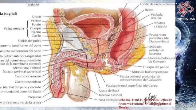 Anatomia Uretra