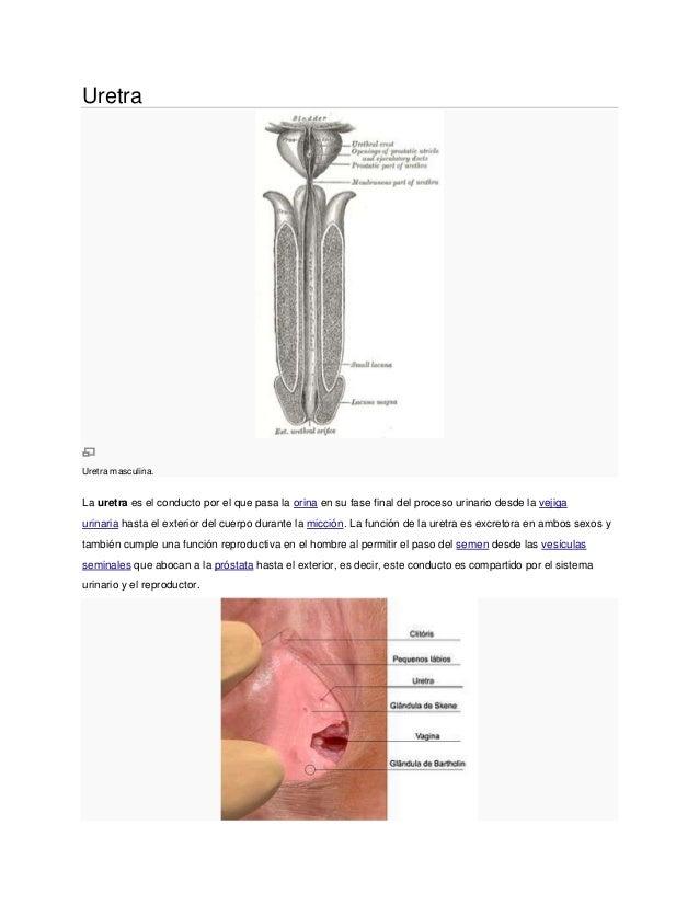 Uretra Uretra masculina. La uretra es el conducto por el que pasa la orina en su fase final del proceso urinario desde la ...
