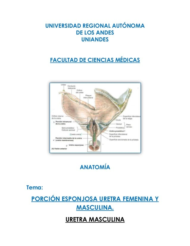 Uretra masculina 5