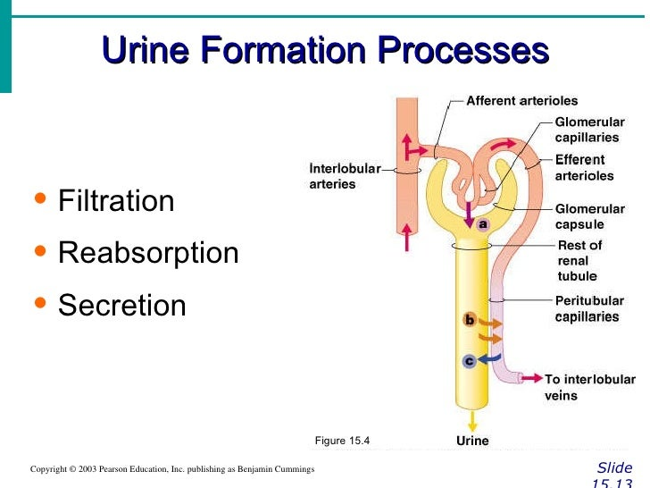 formation of the urine
