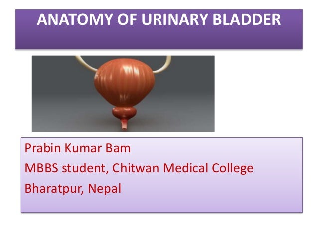 ANATOMY OF URINARY BLADDER Prabin Kumar Bam MBBS student, Chitwan Medical College Bharatpur, Nepal