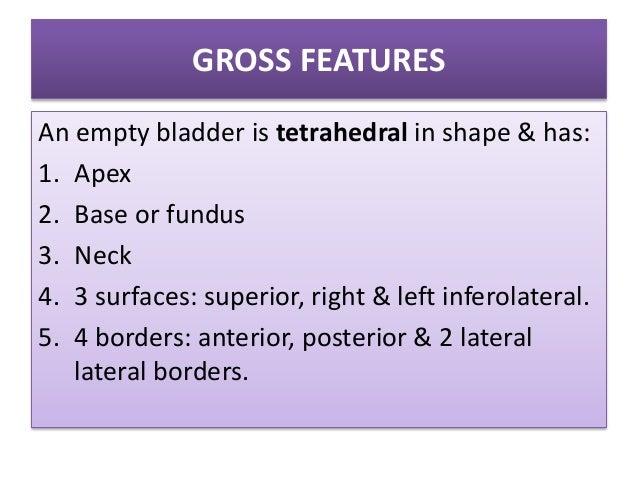Urinary bladder (Anatomy) Slide 3