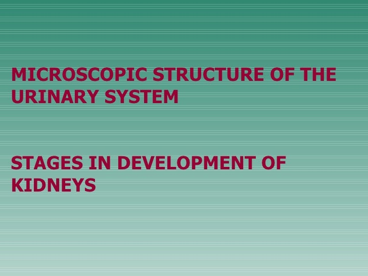 M ICROSCOPIC STRUCTURE OF THE URINARY SYSTEM STAGES IN DEVELOPMENT OF KIDNEYS