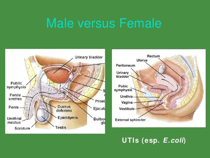 Urinary tract anatomy male