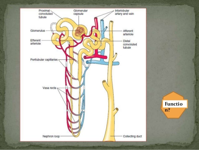Gross anatomy of Urinary System