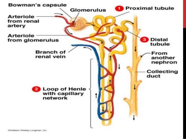 urinary system, Human body