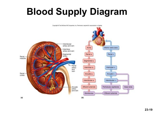 Urinary system 23 19 blood supply diagram ccuart Images