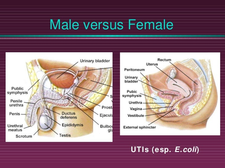 Urinary System Ppt Slide