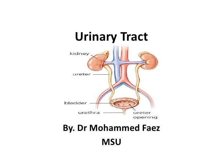 Urinary Tract<br />By. Dr Mohammed Faez<br />MSU<br />