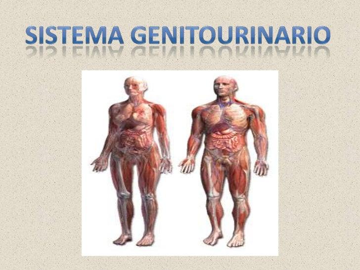 Sistema genitourinario<br />