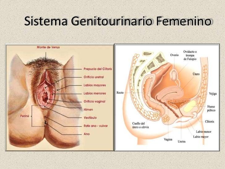 Vistoso Anatomía Femenina Genitourinario Imágenes - Anatomía de Las ...