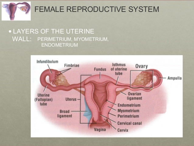 Urinary and reproductive systems female reproductive system ccuart Gallery