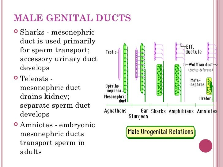 Duct that transports sperm