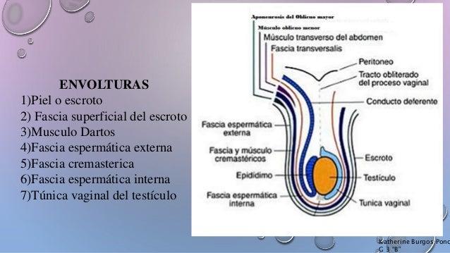 Urologia (Escroto, Testículo y Epididimo)