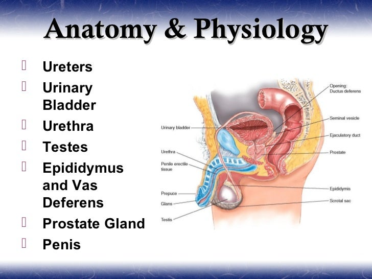 Excepcional Anatomy And Physiology Of Prostate Gland Bosquejo ...