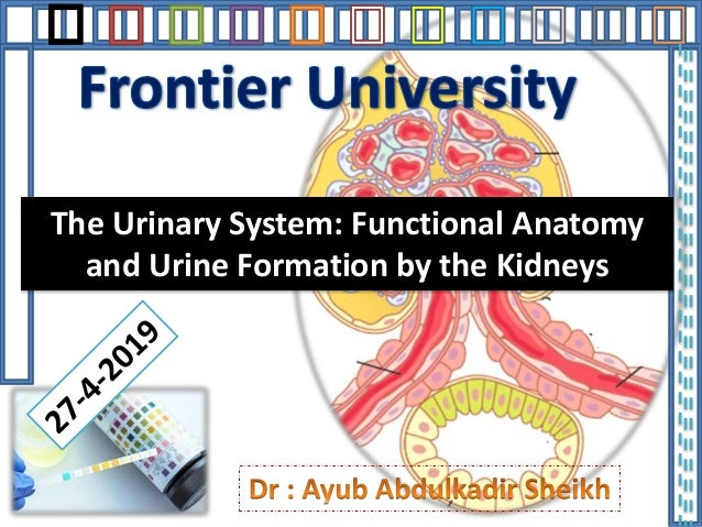 The Urinary System: Functional Anatomy and Urine Formation by the Kidneys