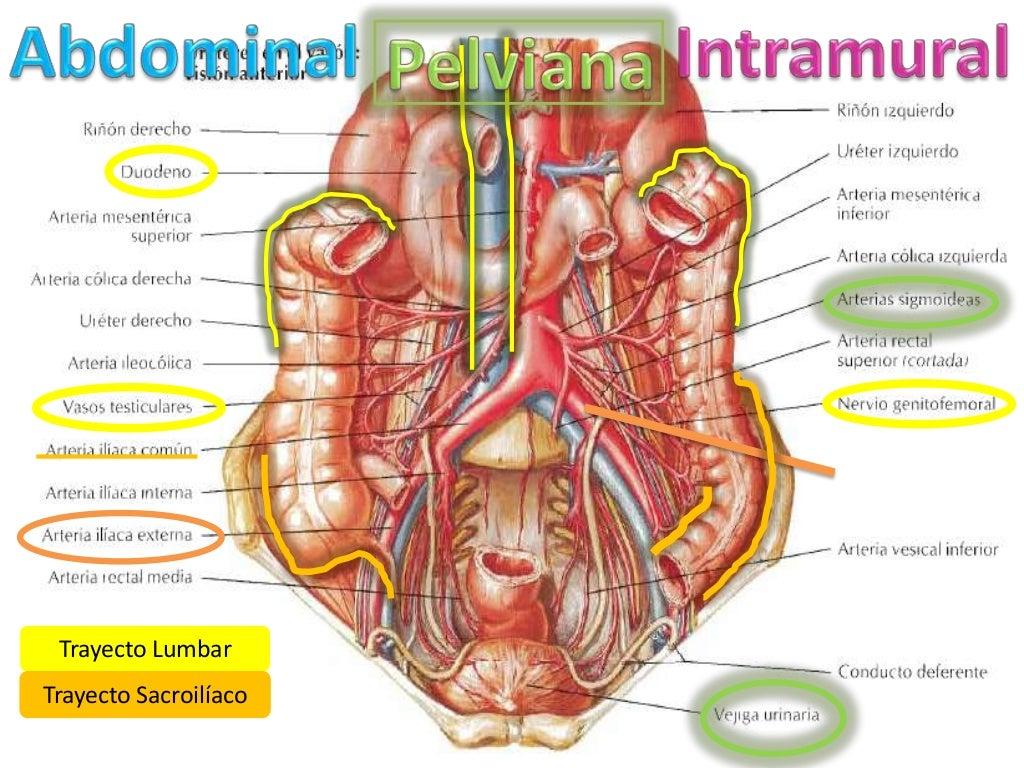 Uréteres (anatomía)