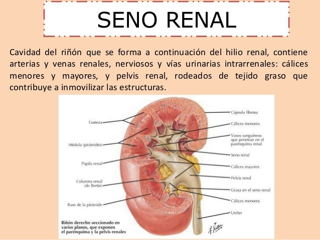 Seno renal y ureteres