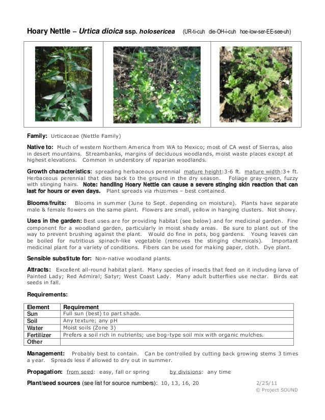 Hoary Nettle – Urtica dioica ssp. holosericea  (UR-ti-cuh die-OH-i-cuh hoe-low-ser-EE-see-uh)  Family: Urticaceae (Nettle ...