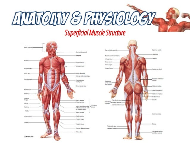 musculoskeletal system anatomy and assessment, Muscles