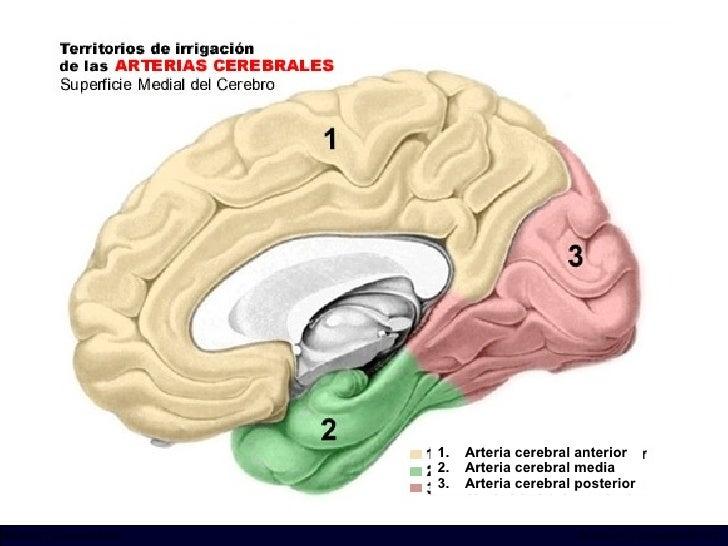 INCICh/CT Scanner del Sur División TC y US/Unidad PET-CT <ul><li>Arteria cerebral anterior </li></ul><ul><li>Arteria cereb...