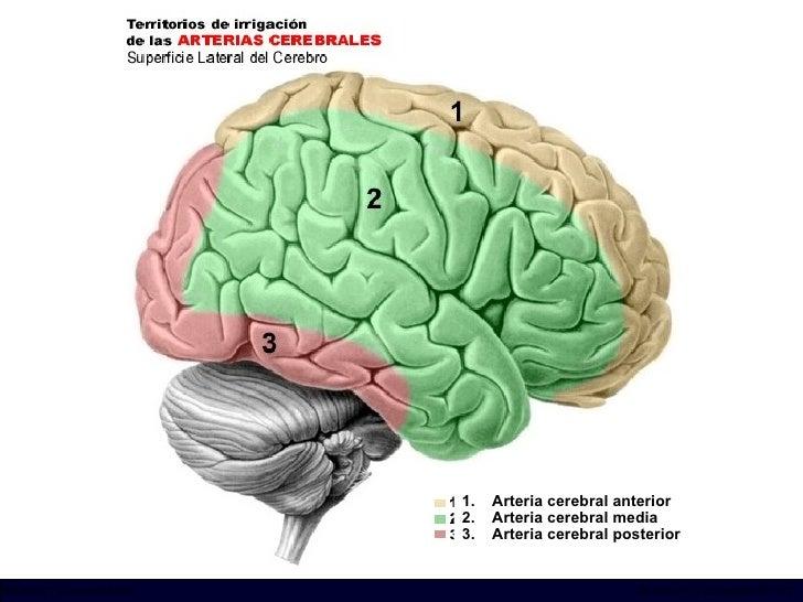 <ul><li>Arteria cerebral anterior </li></ul><ul><li>Arteria cerebral media </li></ul><ul><li>Arteria cerebral posterior </...