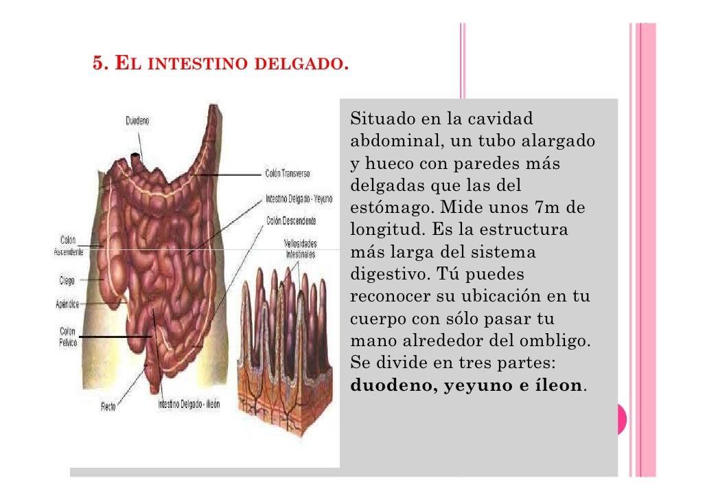 TEMA 11. ENFERMEDADES DIGESTIVAS. RECUERDO ANATOMICO