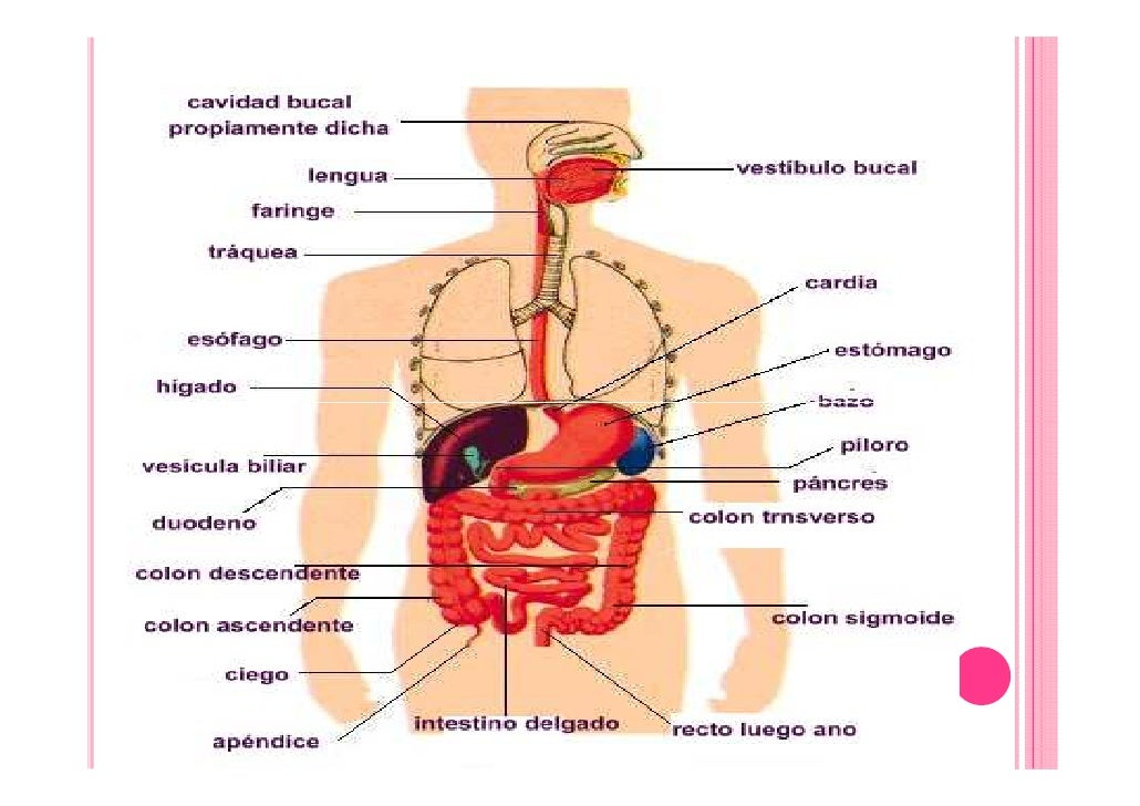 TEMA 11. ENFERMEDADES DIGESTIVAS. RECUERDO ANATOMICO