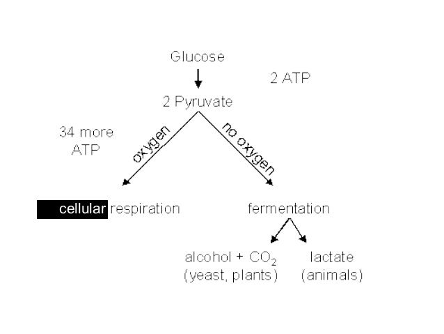 Use this one_respiration & fermentation