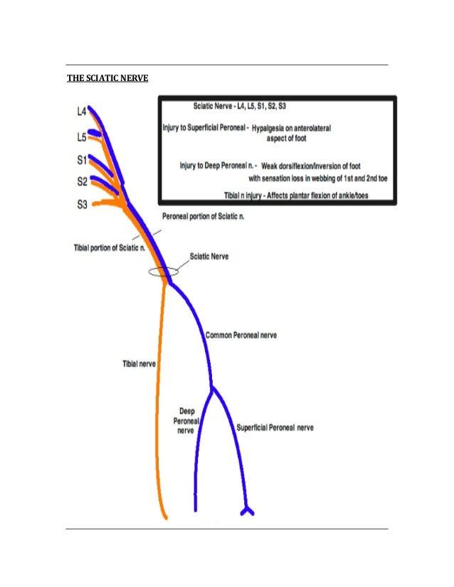 Nerve Root Diagram Usmle Circuit Diagram Symbols