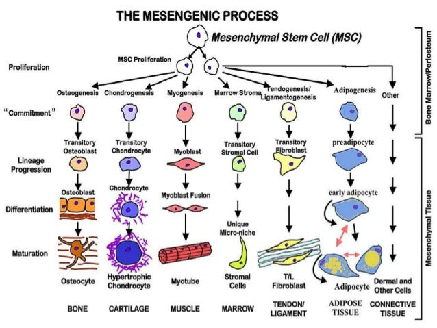 stem cells the future of medicine essay Extended essay creativity activity  as all the cells in the adult organism stem from the embryonic stem cells  is made up of stem cells -- all future cells.