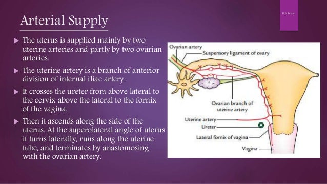 blood supply of uterus maternal anatomy and physiology